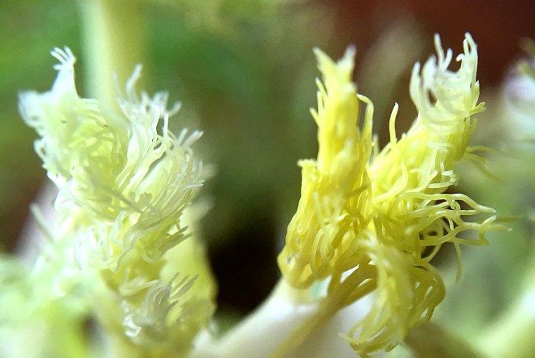 macrolense fennel Fenchel