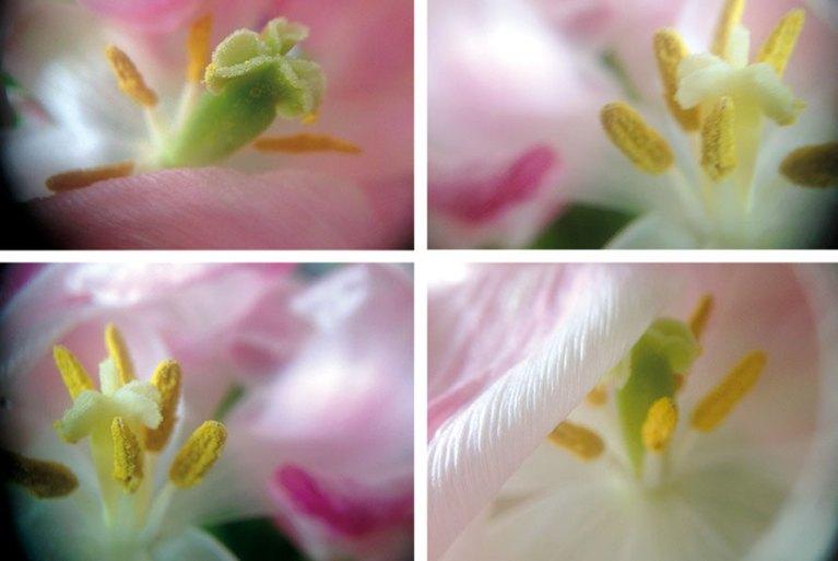 Macrolense Tulpen Blütenstengel