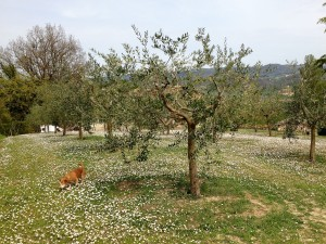 Millie in an olive grove