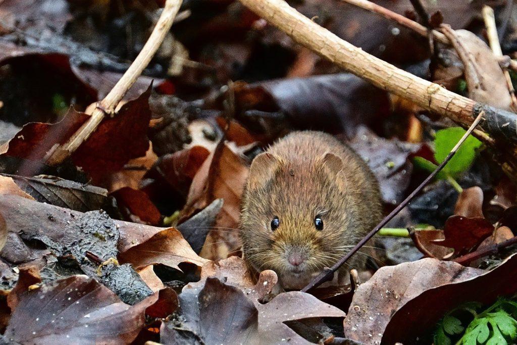 Lutter Intelligemment Contre Le Rat Taupier Au Potager