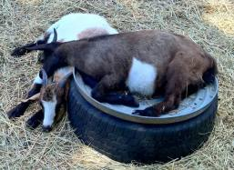 goats-napping