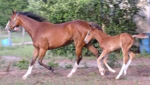 Breeding foaling insemination