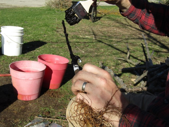 Tree Grafting and Root Stock Propagation