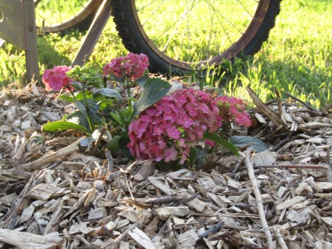 Clearanced Pink Hydrangea