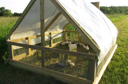 Cornish Cross in chicken tractor