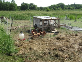 The ground is now mulched and planted, and the chickens were moved to work the next section of new garden beds.