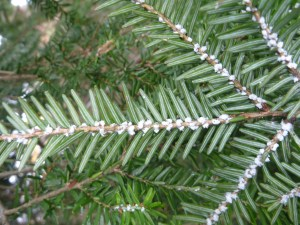 Protect Your Hemlock Trees Inexpensively and Easily