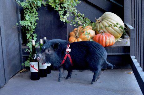 Keenan Winery Pet Pig