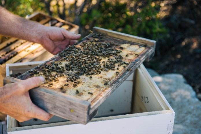 Vineyard 7&8 Bees