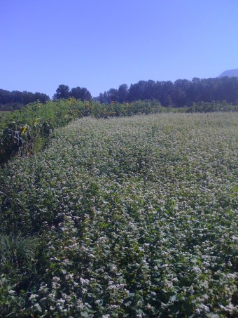 Buckwheat flanked by sunflowers