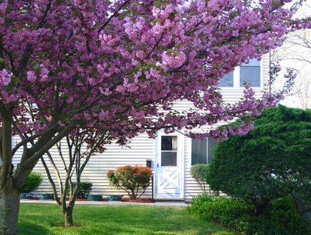 Cherry tree in bloom in front of apartment door.