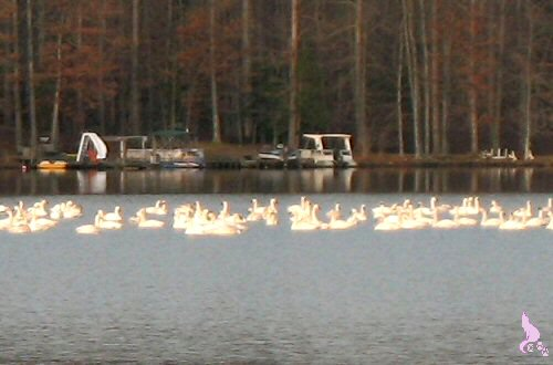 March 2009 by Springwolf © Trumpeter Swans Spent The Night and Then Left