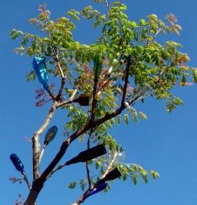 bluebottletree1