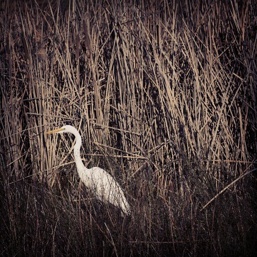 Canon 5D Mark II - edit w/ Instagram, #sutro #crane #heron #greatwhiteheron #egret #birds #wildlife #nature