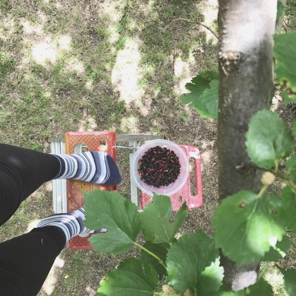 Mulberry Picking via Sprittibee
