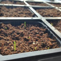 Onion Seedlings in February