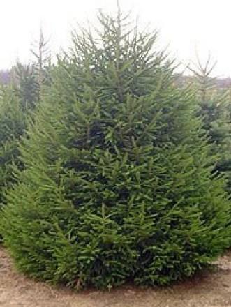 norway_spruce