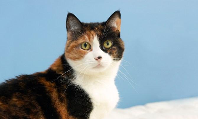 cat-feline-kitty-ear-infection-vet-yeast-bacteria-ear-mites-pet-spry