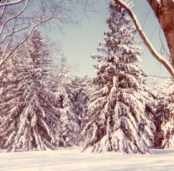 Winter of 1977: Evergreen trees in Providence Park covered with ice.