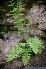 Numerous ferns have taken up residence in the nooks and crannies.