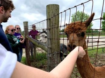 Befriending an alpaca should be on everyone's bucket list.