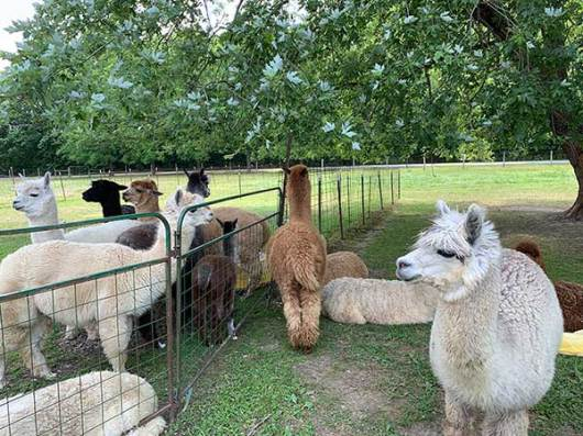 It's shearing day. Alpacas patiently wait their turn for a summer haircut.