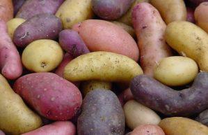 Bild: Ellenberg's Kartoffelvielfalt GbR