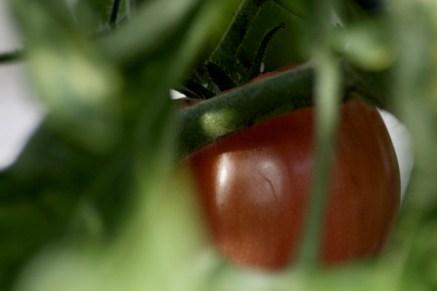 En tomat, en Oxheart, är äntligen på gång.