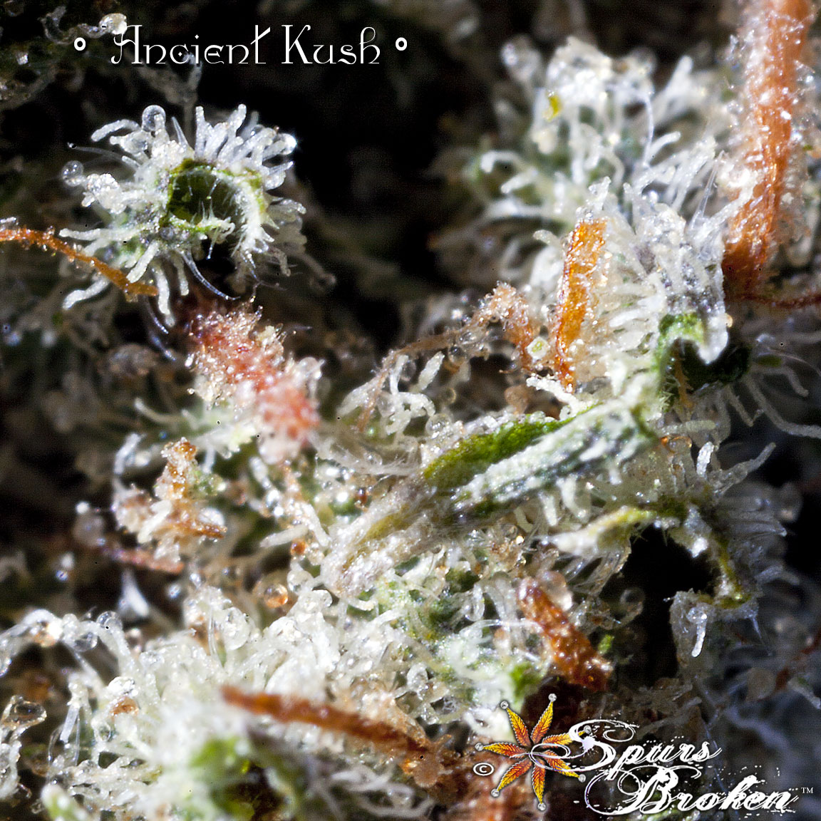 Ancient Kush- Cannabis Macro Photography by Spurs Broken (Robert R. Sanders)