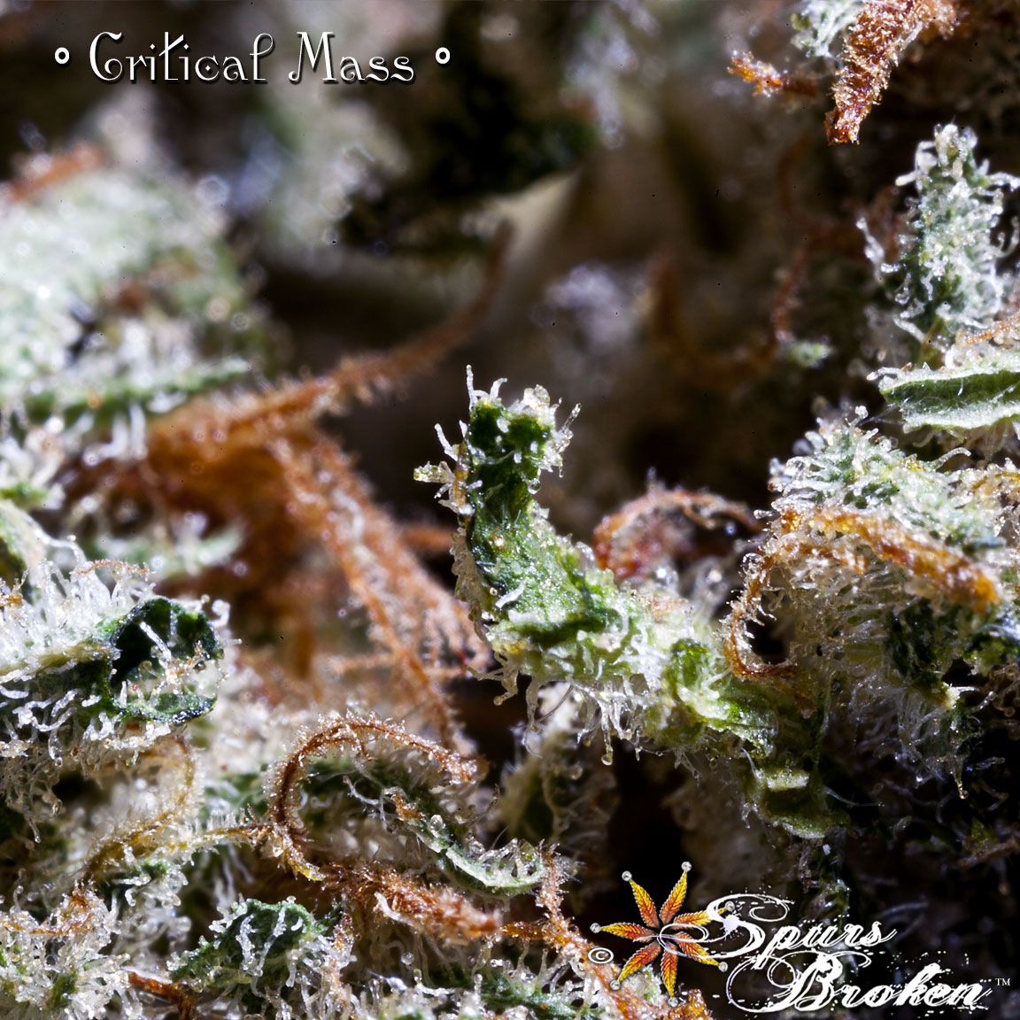 Critical Mass - Cannabis Macro Photography by Spurs Broken (Robert R. Sanders)