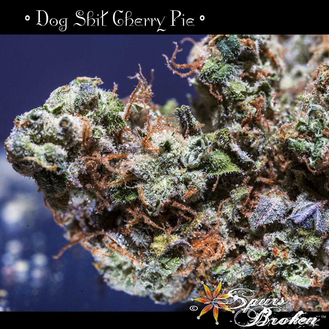 Dog Shit Cherry Pie - Cannabis Macro Photography by Spurs Broken (Robert R. Sanders)