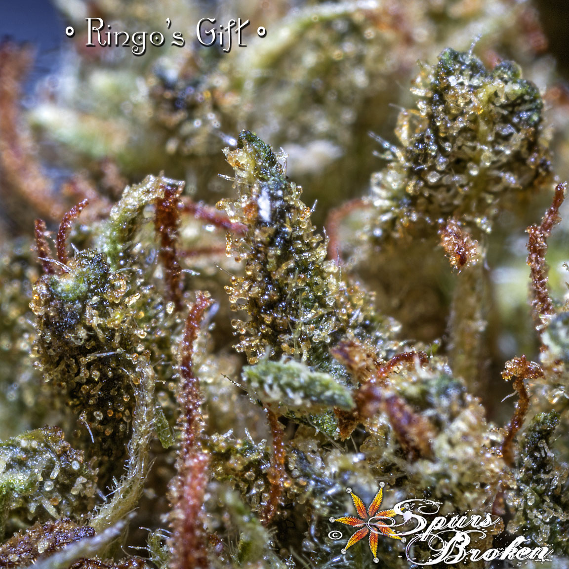 Ringo's Gift - Cannabis Macro Photography by Spurs Broken (Robert R. Sanders)