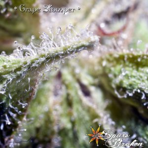 Grape Stomper -Cannabis Macro Photography by Spurs Broken (Robert R. Sanders)