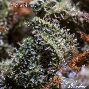 Hashberry -Cannabis Macro Photography by Spurs Broken (Robert R. Sanders)