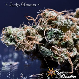 Jack's Cleaner - Cannabis Macro Photography by Spurs Broken (Robert R. Sanders)