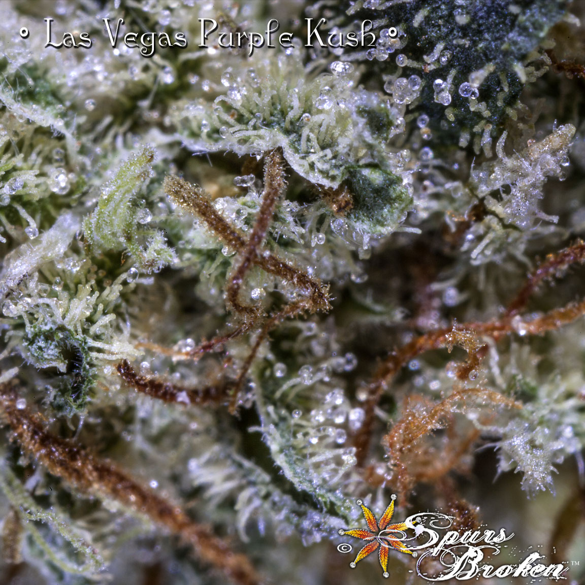 Las Vegas Purple Kush - Cannabis Macro Photography by Spurs Broken (Robert R. Sanders)