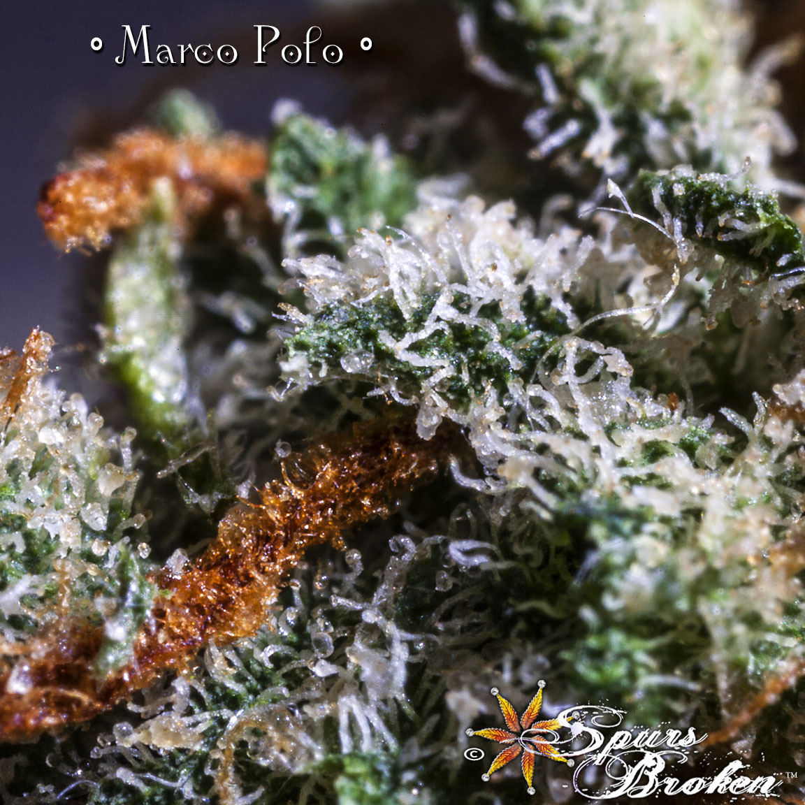 Marco Polo- Cannabis Macro Photography by Spurs Broken (Robert R. Sanders)