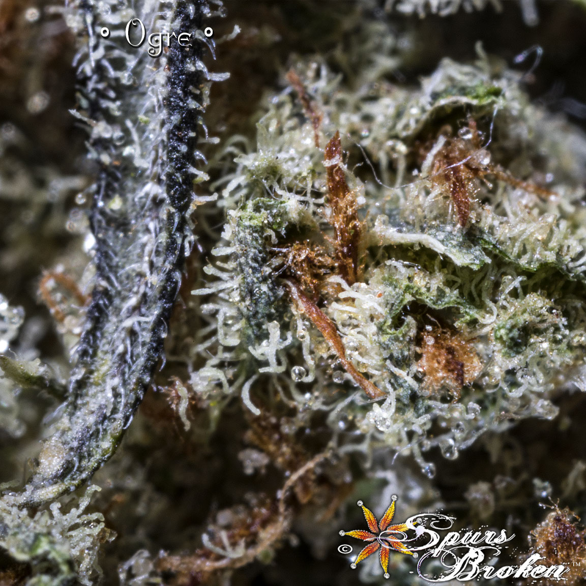 Ogre - Cannabis Macro Photography by Spurs Broken (Robert R. Sanders)
