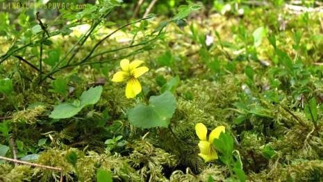 Astoria Violet, Moss