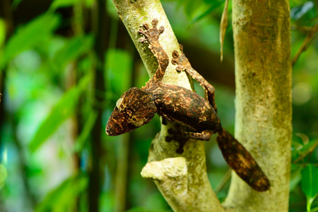 Uroplatus giganteus on Marojejy. Photo © Mark D. Scherz