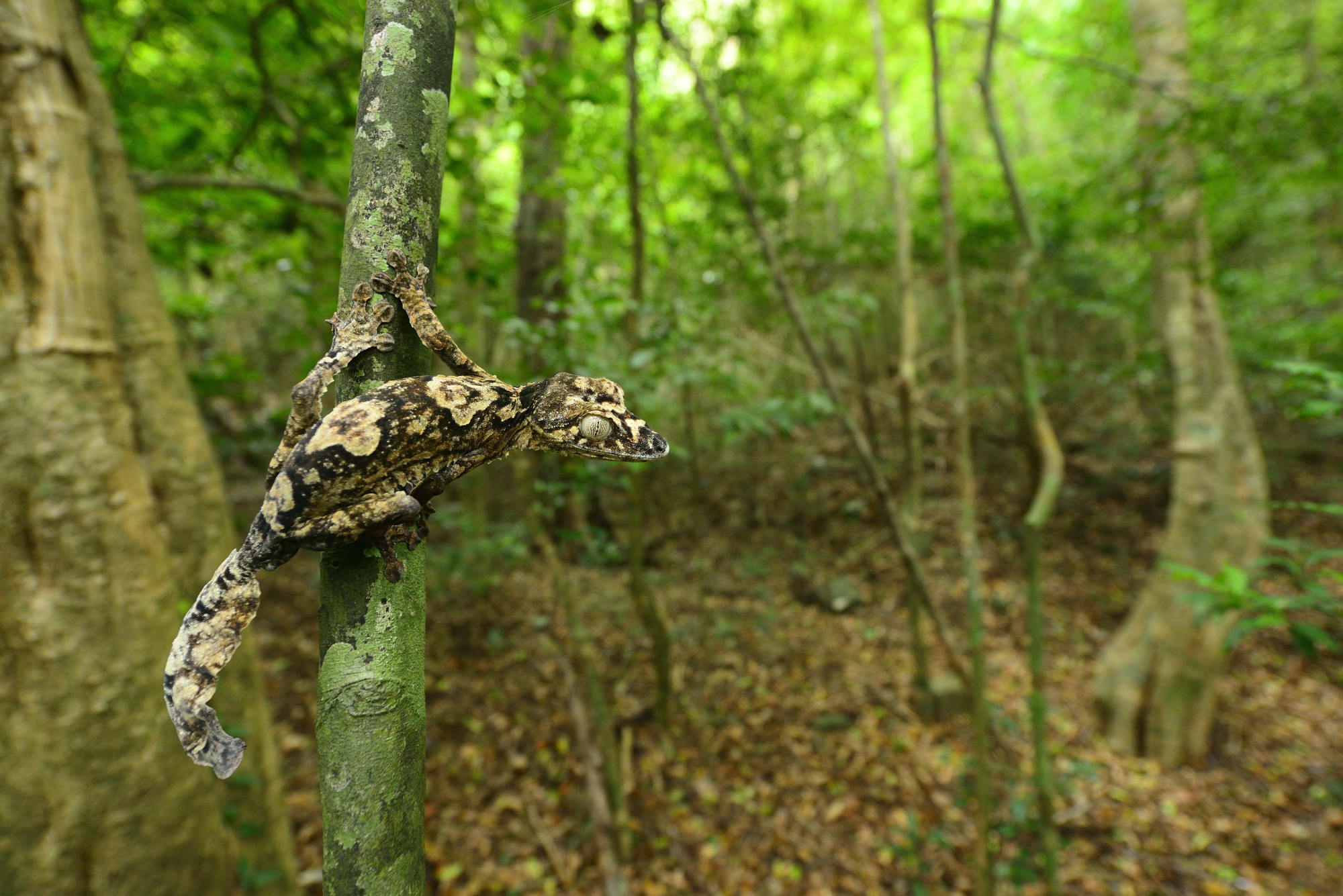Uroplatus giganteus on Montagne d'Ambre. Photo © Mark D. Scherz
