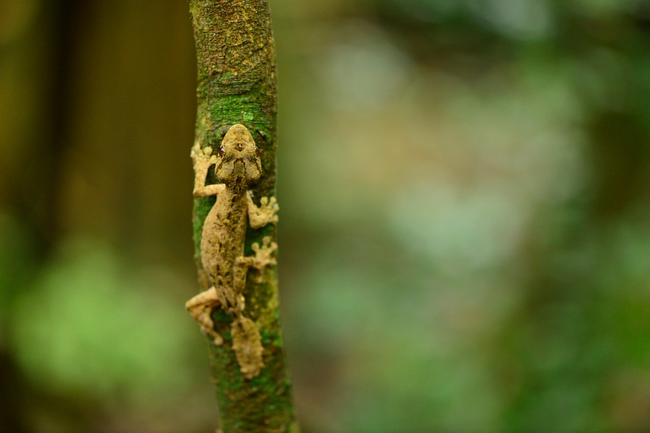 Uroplatus alluaudi on Montagne d'Ambre. Photo © Mark D. Scherz