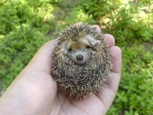 WTF: What?! A Baby Porcupine Hedgehog! » Allison Mack's Official Site (2/3)