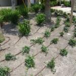 Drip Irrigation Photo: Plant Nursery Tampa