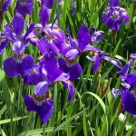 Easy To Grow Siberian Iris!
