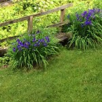 Iris Beautifully Preventing Erosion