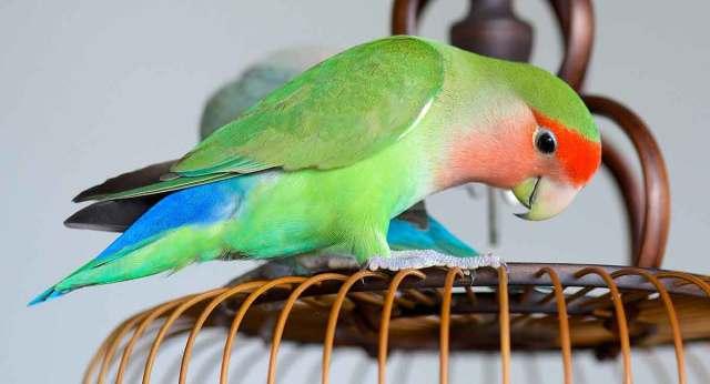 Image result for lovebird lifespan
