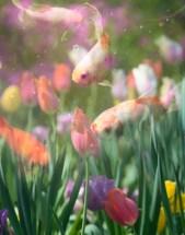 koi-tulips