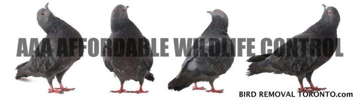 Bird Nest Removal Toronto Affordable Wildlife Control