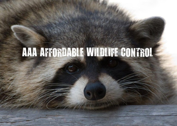 Raccoon Removal Toronto Affordable Wildlife Control Toronto